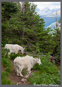 (SG-07011)  Mountain Goats on Logan Pass