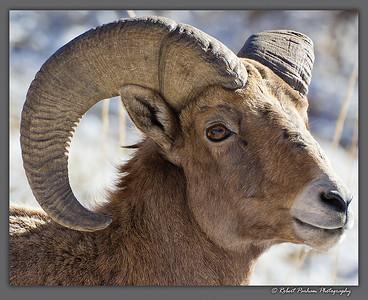 (SG-14093)  Bighorn Ram Portrait