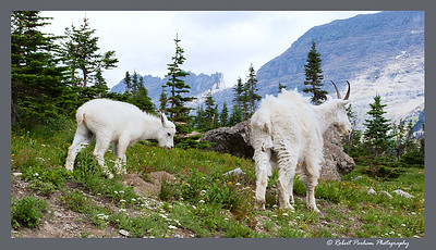 (SG-07006)  Roaming the High Country - Mountain Goat Nanny and Kid