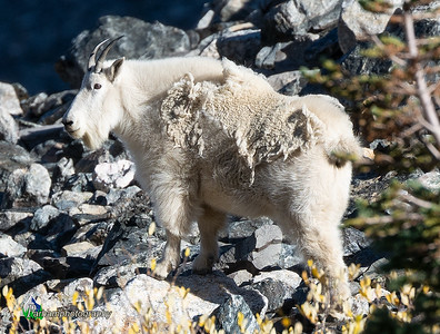 Mountain Goat - Tenmile Range  (SG-19208)