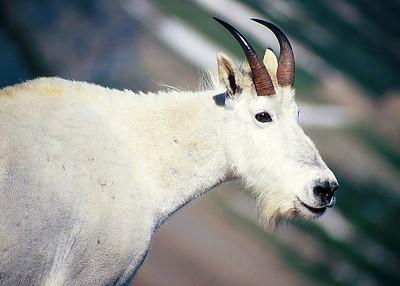 (A010)  Mountain Goat Portrait