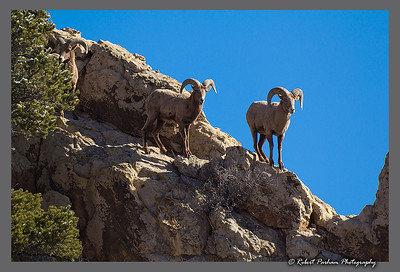 (SG-14253)  Bighorns on the Ridge