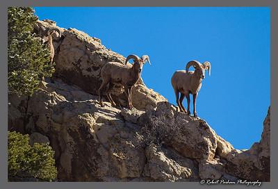 (SG-14253)  Bighorns on the Ridge