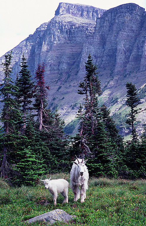(SG-0726)  Mountain goat with Kid