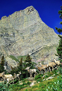 (I023)  Bighorn sheep beneath Crestone Needle