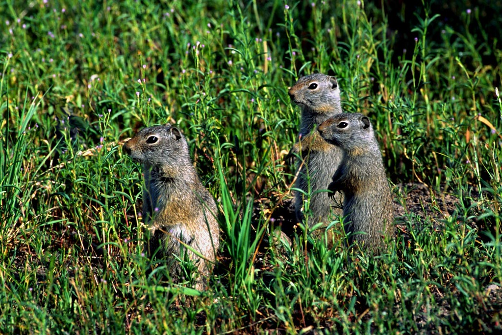 (I092) Prairie dog trio - Yellowstone National Park, Wyoming