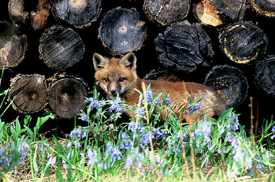 Fox kit by the wood pile  (J022)