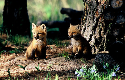 Fox kits in Colorado  (J021)