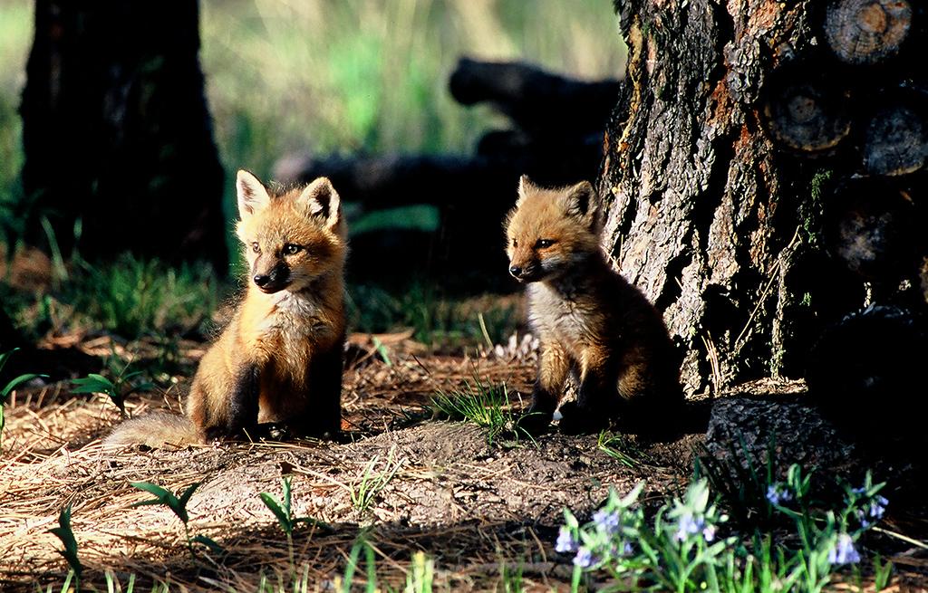 Fox kits in Colorado  (J021)
