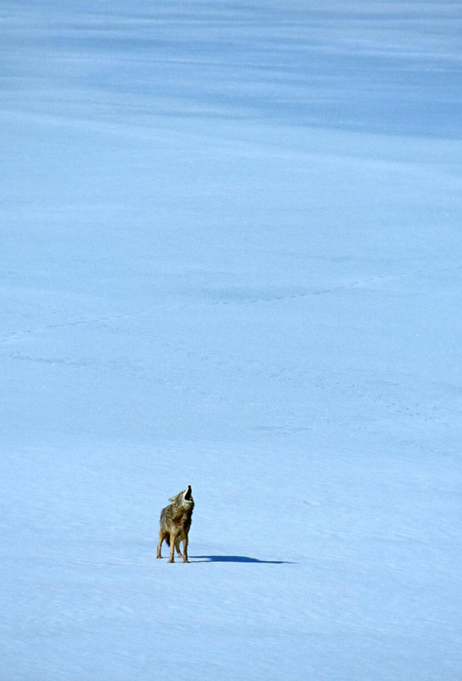 """(F051) """"Lonesome Howler"""" Coyote in Grand Teton N.P., Wyoming"""