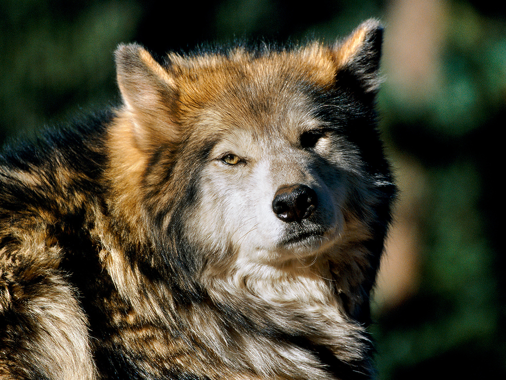 """Eye to Eye""  Gray Wolf  (C055)"