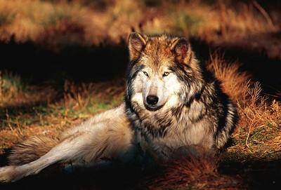 Gray Wolf  (C054)