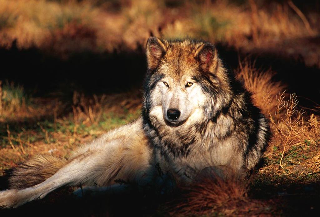 (C054) Gray wolf - wolf preserve in Colorado
