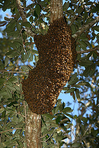 Bee swarm high in oak. 20' above ground?