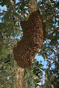 Bee swarm high in oak. 20' above ground?