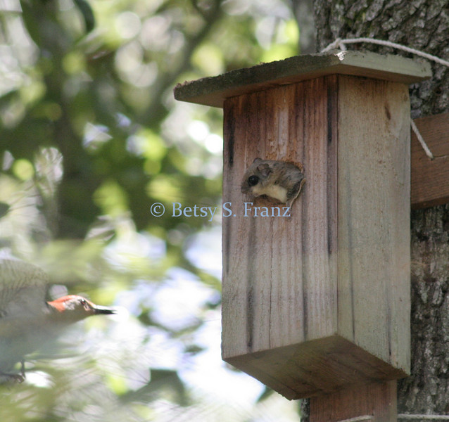 September 5, 2007<br /> The squirrel eventually came all the way out of the nest box and chased the woodpecker off the box.