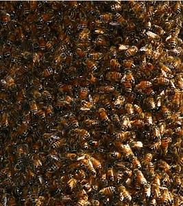 Closeup of bee swarm.