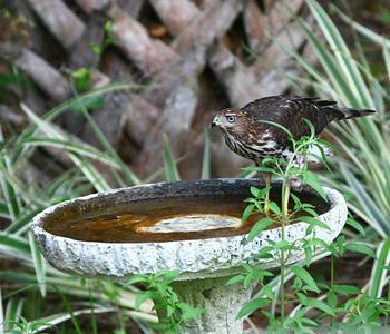 hawkbath
