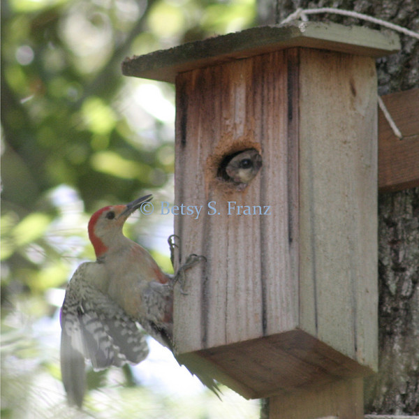 September 5, 2007<br /> Woodpecker and flying squirrel encounter.