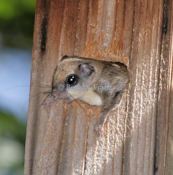 September 5, 2007<br /> Flying squirrel going after the woodpecker again.