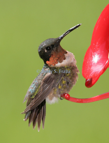 September 13, 2007<br /> I'm not sure what was wrong with this little guy. He sat on the feeder for quite awhile with his head hanging to one side. I saw two hummers chasing each other today so hopefully this guy didn't collide with a window or anything.