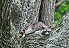 Raccoon Sticking Tounge out