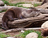 Otter at Grandfather Mountain reserve