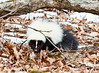 Skunk in snow