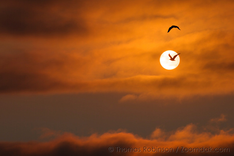 Two seagulls (Larus pacificus) fly into the vibrant orange sunset. An image of flight, hope and future.