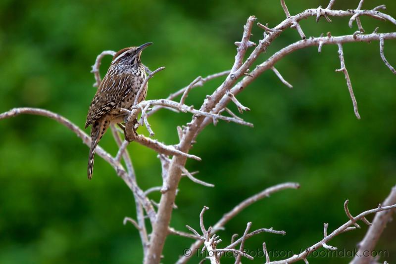 A Dickcissel (Spiza americana) perches in the branches.