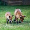 Backyard Foxes