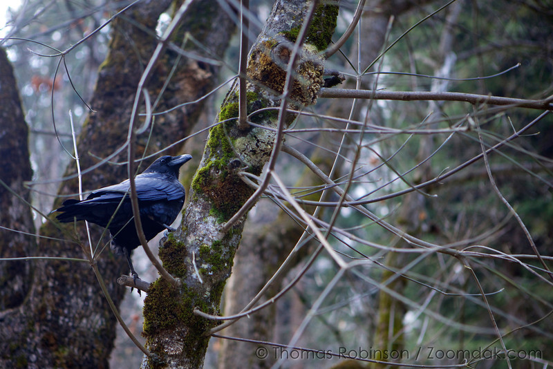A raven (Corvus corax) perches on the branch of an tree on the Yosemite Valley Floor.