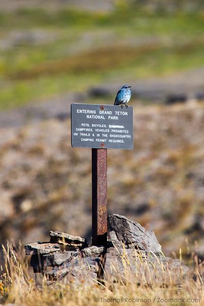 Mountain Bluebird on Teton Sign