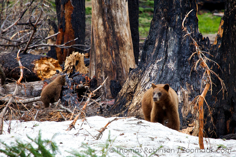 A mother black bear (Ursus americanus californiensis) and cub forage for food in the woods of Yosemite National Park.