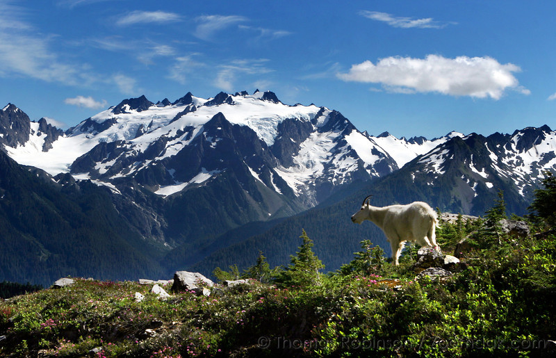 Olympic Mountain Goat in front of Mt. Olympus.