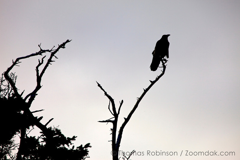 An American Crow (Corvus brachyrhynchos) perchs upon a branch above the Pacific Ocean.