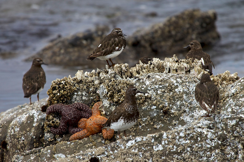A group of Black Turnstones (Arenaria melanocephala) - a small black and white intertidal wading bird - congregate on the barnacle covered rocks of Yachats State Park on the Oregon Coast.