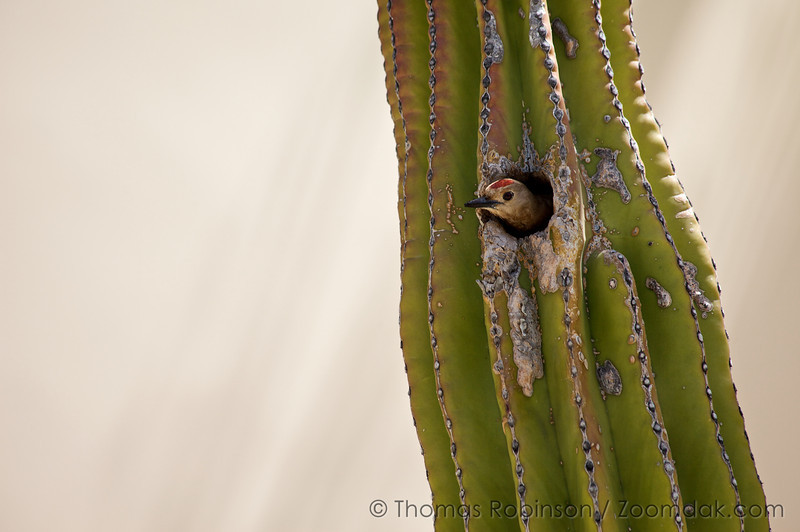 A Gila Woodpecker (Melanerpes uropygialis) peaks its head out of a cactus in Cabo, Mexico. Gila Woodpeckers typically prefer to live in saguaro cacti.