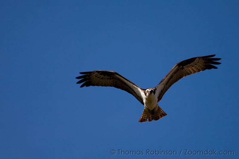 Colorado Osprey in Flight