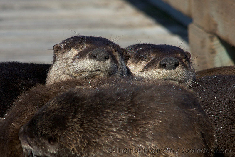 Two river otters (Lutra Canadenis)napping in the sun.<br /> <br /> River otters usually measure 3-4 ft (1m) in length and live about 15 years. Otters are excellent swimmers, but spend time basking in the sun.