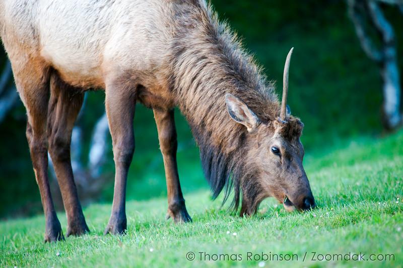 Dinner Elk