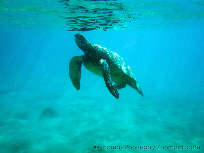 A green sea turtle (Chelonia mydas) comes up to the surface for air at  Brennecke Beach in Poipu, Kauai.  Some sea turtles live up to eighty years in the wild.
