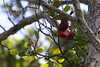 A Hawaiian Honeycreeper 'Apapane (Himatione sanguinea) loves to take nectar from the beautiful native red lehua blossom of the Ohia tree (Metrosideros polymorpha).