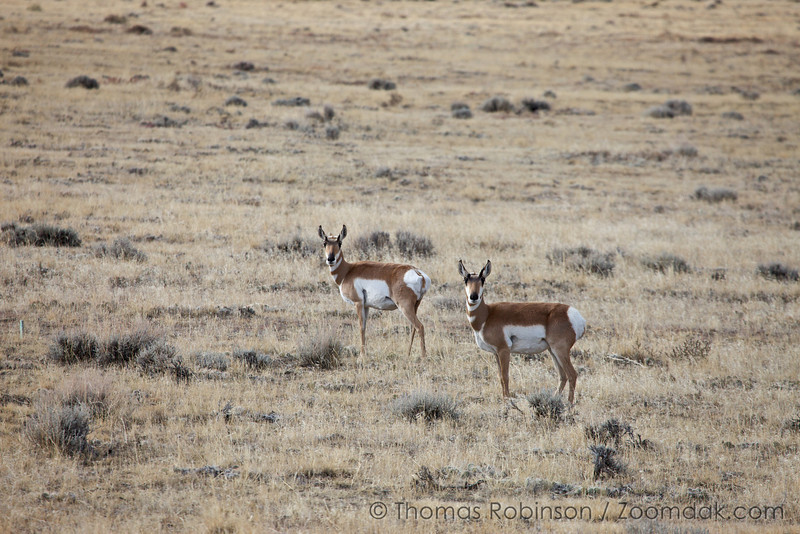 Two female pronghorn antelope (Antilocapra americana) keep watch near Casper, Wyoming. These does certainly have a doe-eyed look to them.