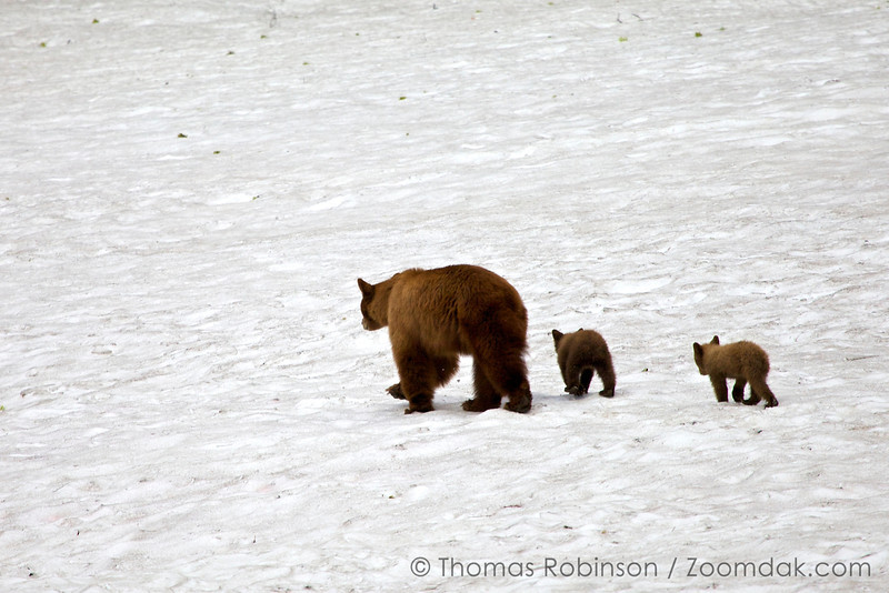 A mother black bear (Ursus americanus) leads her two cubs across the snow in Yosemite National Park.