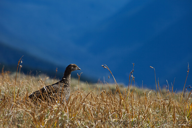 A ptarmigan searches for grasshoppers in the underbrush near the summit of Hurricane Hill in the Olympic National Park.