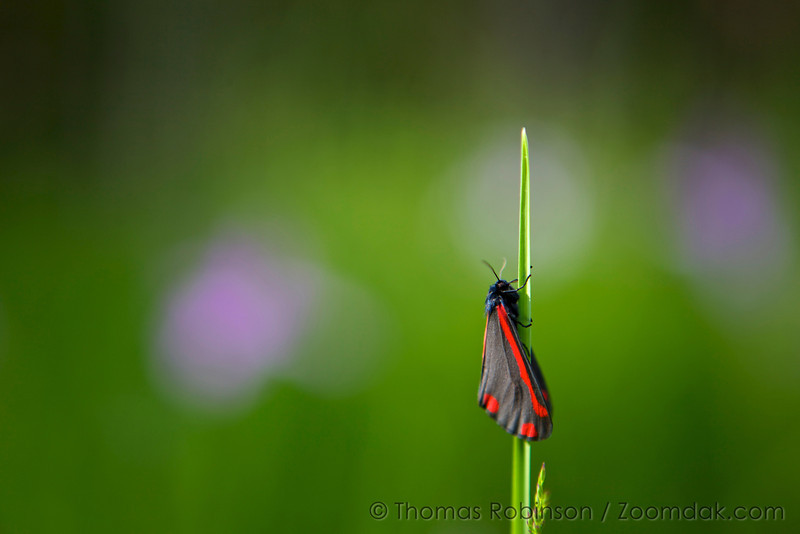 A black butterfly with red wingtips perches on a strand of grass in Corvallis, Oregon.