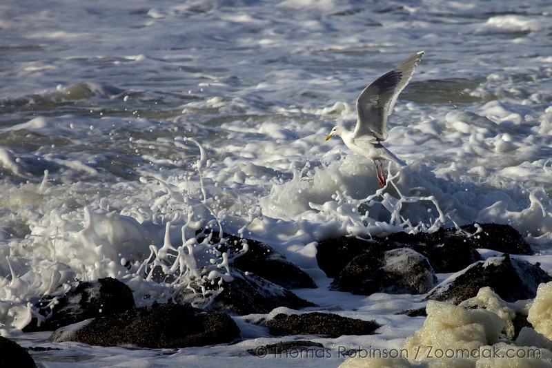 Pacific Gull Flight