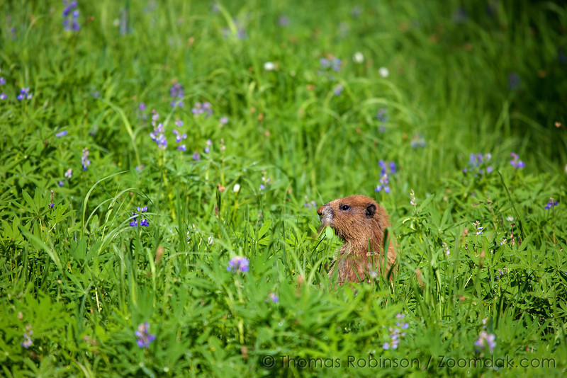 An Olympic marmot (Marmota olympus) chows on a breakfast of lupin mid-morning near Royal Lake in the Olympic National Park.