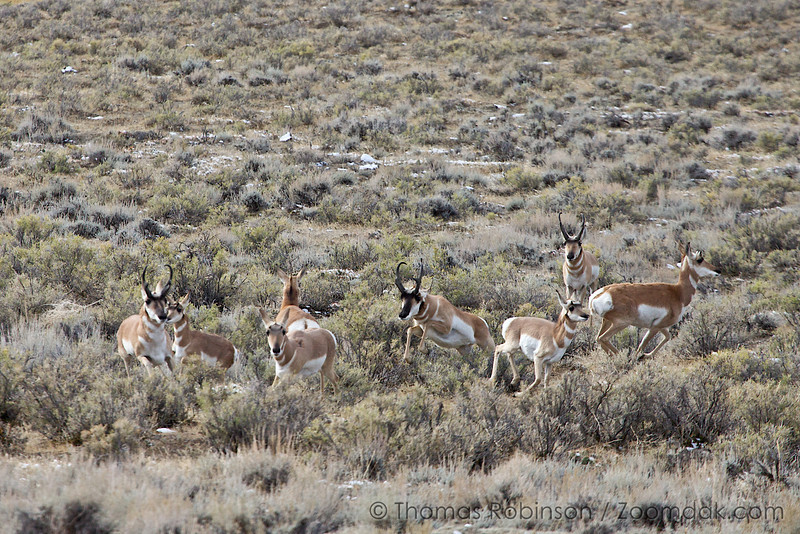 A harem of female pronghorn antelope (Antilocapra americana) scatter as male chases them.